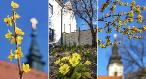 Márciusi hangulatok a szegedi alsóvárosi Ferences-templom és rendház kertjéből