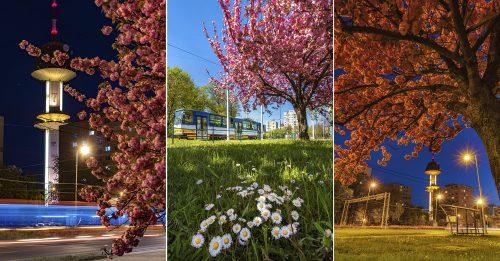 Tavaszi életképek a szegedi 2-es villamos végállomásánál