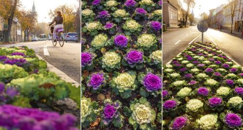 Jópofa díszkáposzták színesítik a késő őszi szegedi utcákat