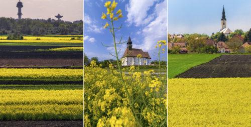 Április szépségei: virágzó repceföldek Szegeden és a Dél-Alföldön
