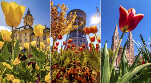 A 2020-as szegedi tulipánszezon válogatott fotói