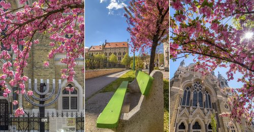Áprilisi virágzó japáncseresznyefák a szegedi zsinagógánál