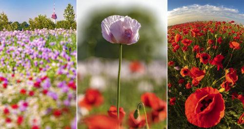 Fotóanyag egy vadvirágokkal tarkított Szeged melletti mákföld legszebb képeiből